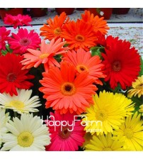 100 Pcs/Pack Lowest Price!Gerbera Daisy Hybrids Mix Flower Plantas Bonsai plants easy to grow floresling for home & garden