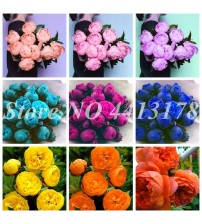 10 Pcs/Bag Exotic Double Peony Bonsai Multicolor Perennial Peony Flower Chinese Paeonia Suffruticosa Plant Diy Home Garden Flore