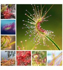100 pcs / lot Carnivorous Plants Potted Flycatcher Bonsai Sundew PlantaDrosera Peltata Table Garden Planting Radiation Protect