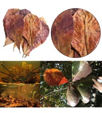 10pcs high quality Natural Terminalia Catappa Leaves,Indian almond Lour tree Olive leaf for aquarium water to balance PH Acidity|Water Treatment|   -